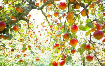福壽山農場蘋果行